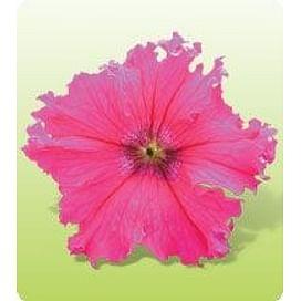 Кобаяши Роуз (Rose) семена петунии крупноцветковой дражированные 250 семян Kitano/Китано