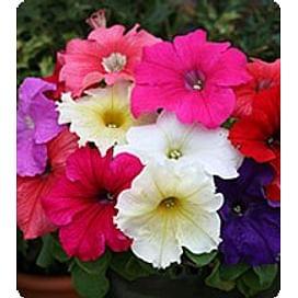Виртуоз Формула Миксд (Formula mixed) семена петунии крупноцветковой дражированные Kitano/Китано