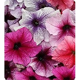 Виртуоз Берри миксд (Berry mixed) семена петунии крупноцветковой дражированные Kitano/Китано