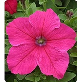 Виртуоз Брит Роуз (Bright Rose) семена петунии крупноцветковой дражированные Kitano/Китано