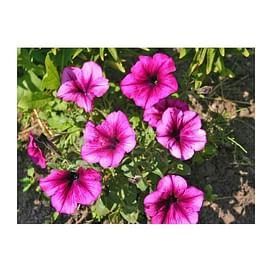 Танака Дип Роуз (Deep Rose) семена петунии крупноцветковой дражированные Kitano/Китано