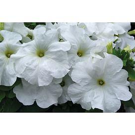 Танака Вайт (White) семена петунии крупноцветковой дражированные Kitano/Китано