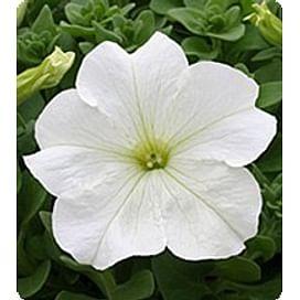 Виртуоз Вайт (White) семена петунии крупноцветковой дражированные Kitano/Китано