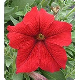 Виртуоз Ред (Red) семена петунии крупноцветковой дражированные Kitano/Китано