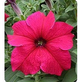 Виртуоз Дип Роуз (Deep Rose) семена петунии крупноцветковой дражированные Kitano/Китано