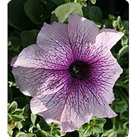 Виртуоз Блекбери (Blackberry) семена петунии крупноцветковой дражированные Kitano/Китано
