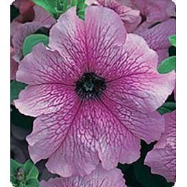 Виртуоз Девбери (Dewberry) семена петунии крупноцветковой дражированные Kitano/Китано