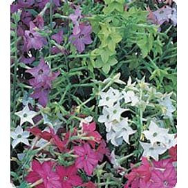 Арома Formula mixed семена табака дражированные 250 семян Kitano/Китано