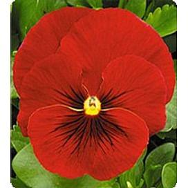 Династия Scarlet Shades семена фиалки 100 семян Kitano/Китано
