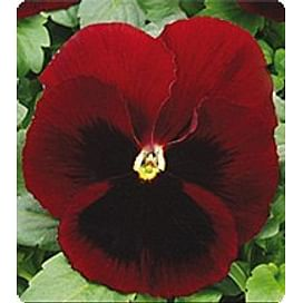 Династия Red Blotch семена фиалки Kitano/Китано