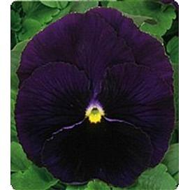 Династия Purple семена фиалки 500 семян Kitano/Китано