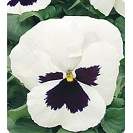 Династия White Blotch семена фиалки Kitano/Китано