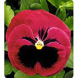 Династия Rose Blotch семена фиалки 100 семян Kitano/Китано