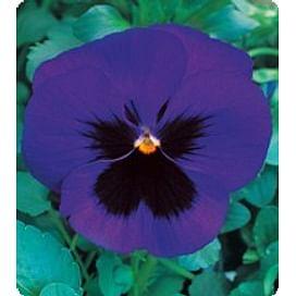 Династия Blue Blotch семена фиалки 100 семян Kitano/Китано