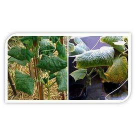 Скручиваются листья огурцов - причины и методы борьбы.