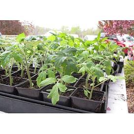Технология выращивания рассады помидоров от imarket Агро
