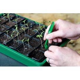 Особенности пикировки рассады томата