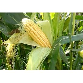 Подкормка и удобрения для кукурузы