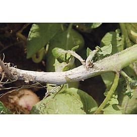 Ризоктониоз или черная парша картофеля