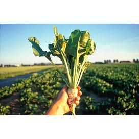 Агротехника выращивания сахарной свеклы