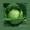 Чамп F1 (Champ F1) семена капусты белокочанной ультраранней 2 500 семян Seminis/Семинис