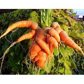 Почему морковь растет кривая и уродливая