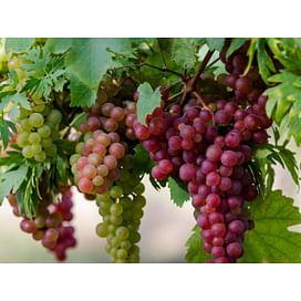 "Программа защиты виноградников препаратами ""SYNGENTA"""