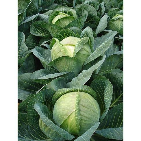 Арривист F1 (Arrivist F1) семена капусты белокочанной 2 500 семян Seminis/Семинис