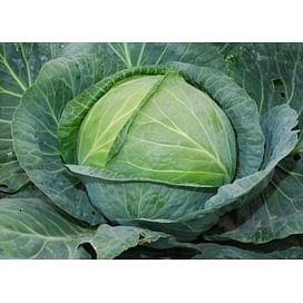 Атрия F1 (Atria F1) семена капусты белокочанной среднеподней Seminis/Семинис