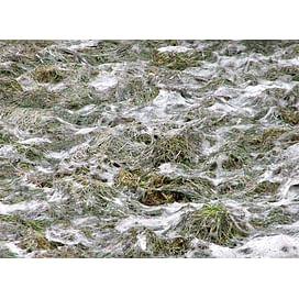 Снежная плесень озимых зерновых культур