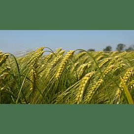 Пестициды для озимой пшеницы против заболеваний