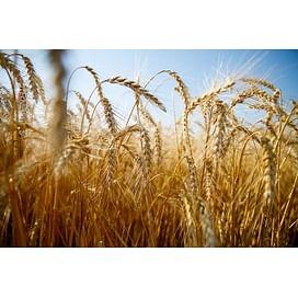 """Программа защиты пшеницы препаратами """"Химагромаркетинг"""""""