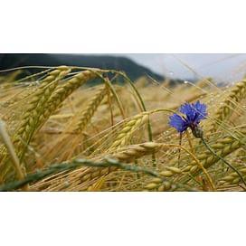 Фунгициды для озимой пшеницы