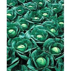 Ринда F1 (Rinda F1) семена капусты белокочанной 2 500 семян Seminis/Семинис