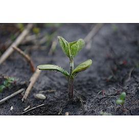 Гербициды для сои от сорняков