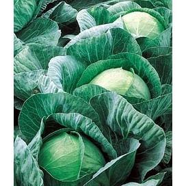Вестри F1 (Vestri F1) семена капусты белокочанной Seminis/Семинис