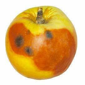 Физиологические заболевания яблок