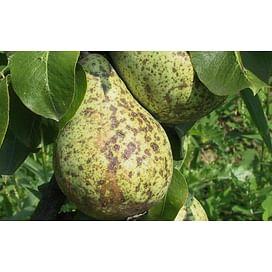 Парша груши и яблони. Препараты для борьбы с паршой
