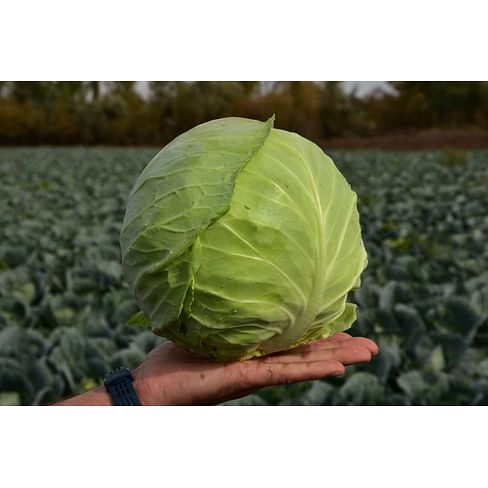 Грин Бой F1 (Green Boy F1) семена капусты белокочанной 1 000 семян Sakata/Саката