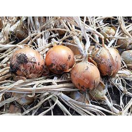 Джела F1 семена лука репчатого среднего желтого 250 000 семян LibraSeeds