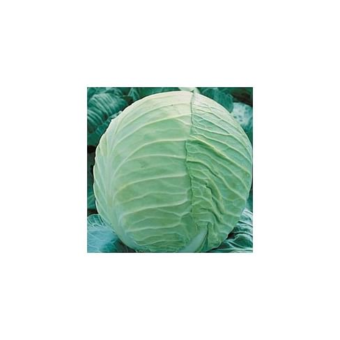 Такома F1 семена капусты белокочанной 2 500 семян Rijk Zwaan/Рийк Цваан
