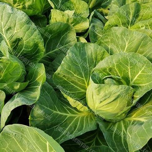 Росберг F1 семена капусты белокочанной ультраранней 2 500 семян Syngenta/Сингента