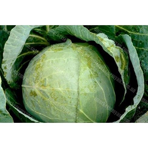 Тореадор F1 (Тореодор F1) семена капусты белокочанной средней Syngenta/Сингента