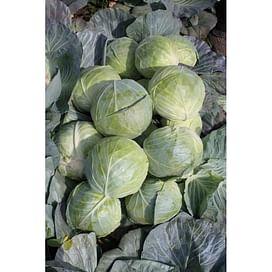 Компас F1 (Глоуб Мастер) семена капусты белокочанной Taki Seed/Такии Сидс