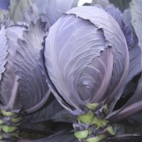 Интеграл F1 семена капусты краснокочанной 2 500 семян NongWoo Bio