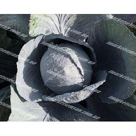 Лектро F1 семена капусты краснокочанной поздней 2 500 семян Bejo/Бейо