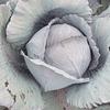 Ред Харизма F1 семена капусты краснокочанной среднепоздней калибр. Rijk Zwaan/Рийк Цваан