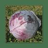 Ред Династи F1 (Red Dynasty F1) семена капусты краснокочанной ранней 2 500 семян Seminis/Семинис