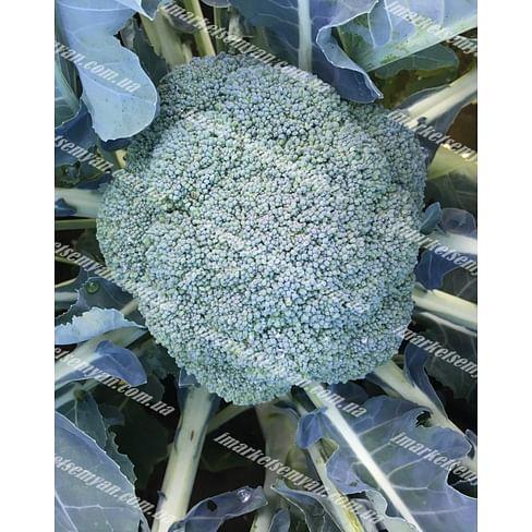 Вавилон F1 семена капусты брокколи средне-ранней 2 500 семян Clause/Клоз