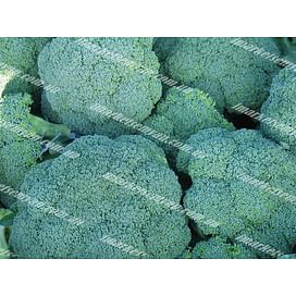 Корато F1 семена капусты брокколи средней 2 500 семян Enza Zaden/Энза Заден